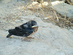 Baby swallow - Andorinha, just out of its nest.